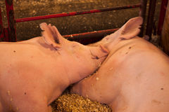 Two Pigs in a Pen Stock Photos