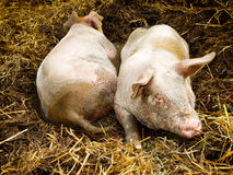 Two Pigs in Pigpen Stock Photography