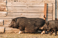 Two Pigs Running In Farm Yard. Pig Farming Is Raising And Breeding Royalty Free Stock Photography