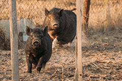 Two Pigs Running In Farm Yard. Pig Farming Is Raising And Breeding. Two Household Black Pigs Running In Farm Yard. Pig Farming Is Raising And Breeding Of stock image