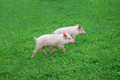 Two pigs running through the grass Stock Photography