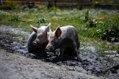 Two pigs sitting in the mud in the village. royalty free stock photo