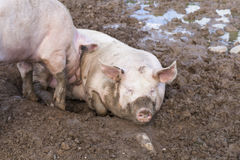 Two pigs sleeping in mud Royalty Free Stock Image