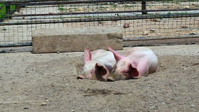 Two pigs sleeping stock video footage