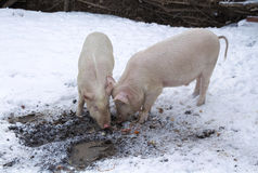Two pigs among snow and mud Royalty Free Stock Images