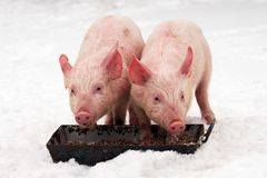 Two pigs on snow. Two young pigs are eating at winter on the snow on white background royalty free stock photos