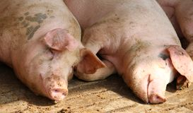 Two pigs in the sty of the breeder farm Stock Photography