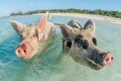 Two pigs swimming in the Bahamas. In Big Major Cay, the Exumas, you can get very close to the famous swimming pigs. Bahamas, December Royalty Free Stock Photos