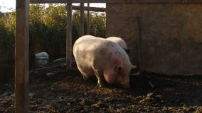 Two pigs and two pelicans stock video footage