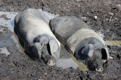 Two pigs wallow in a mud bath on a hot day. Stock Photo