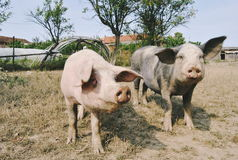 Two pigs Royalty Free Stock Photography