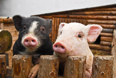 Two pigs. In zoo garden royalty free stock photo