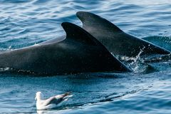 Two pilot whales. Pilot whales as seen during a whale watching tour in Iceland royalty free stock images