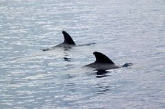 Two pilot whales in the waters outside the Azores Royalty Free Stock Photo
