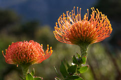 Two Pin Cushion Proteas Royalty Free Stock Photography