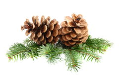Two pine cones with branch. Royalty Free Stock Images
