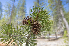 Two pine cones grow on the end of a branch Royalty Free Stock Image