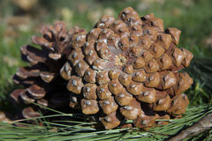 Two pine cones lying on the grass Stock Photography