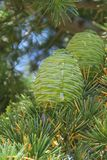 Two green pine cones upright on a branch. Two immature pine cones with sap running down nested on a branch among green and yellow needles with blue sky in the Stock Photography