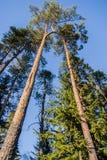 Two pine Royalty Free Stock Photos