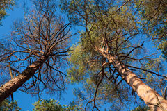 Two pine trees agains blue sky Stock Photos