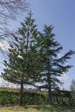 Two pine trees and in the background a clear sky Stock Photo