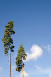 Two pine trees and blue sky Royalty Free Stock Photography