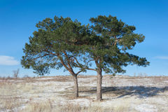 Two pine-trees in the field Stock Photos