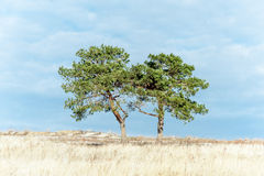 Two pine-trees in the field Royalty Free Stock Image