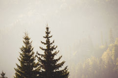 Two pine trees on a foggy morning Royalty Free Stock Photo