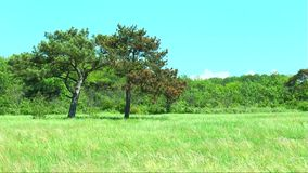Two pine trees on a glade in the forest. Against the blue sky stock video footage