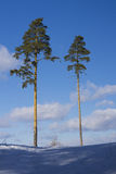 Two pine trees on a hill Stock Photos