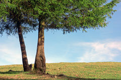Two pine trunks on sunny day. Two pine trunks with copy space on sunny day Royalty Free Stock Photo