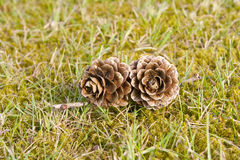 Two pinecones in grass Stock Photo