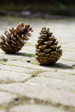 Two pinecones Stock Image