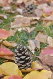 Pinecones in beautiful Autumn leaves Stock Images