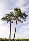 Two pines Stock Photo
