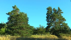 Two pines on a background of blue sky. Early morning stock footage