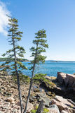 Two Pines On Rocky Coast Near Bar Harbor Royalty Free Stock Image