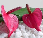 Two pink Anthuriums flowers with white stones. A composition of two pink Anthuriums flowers with green leaves, white stones and a light gray background Royalty Free Stock Image