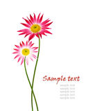 Two pink aster flowers Royalty Free Stock Photos