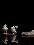 Two pink backed pelicans against a black background Stock Photo