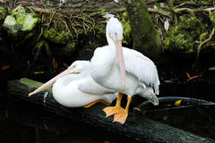 Two Pink Backed Pelicans Royalty Free Stock Images