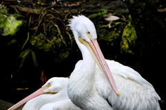Two Pink Backed Pelicans Stock Images