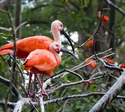 Two pink birds Stock Photo