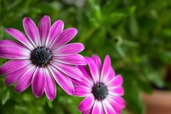 Two pink blue-eyed daisies Osteospermum on a green background. Close up of two pink blue-eyed daisies Osteospermum on a blurred background of green leaves Stock Image