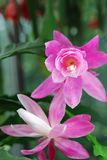 Two pink cacstus flowers Royalty Free Stock Photos