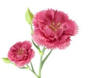Two pink carnation flowers Stock Photos