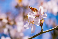 Two pink cherry flowers Stock Photos