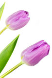 Two pink coloured tulips Royalty Free Stock Images